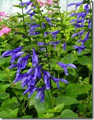 salvia_blue_ensign