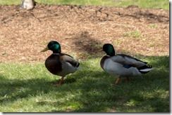 Mallard Ducks (1 of 1)-2