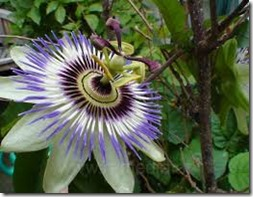 Passion Flower 2