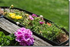 Portulacca in Wire Baskets (1 of 1)