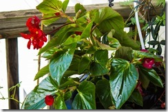 Red Dragon Wing Begonia (1 of 1)
