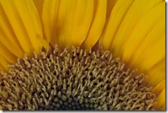 Sunflower Close Up (1 of 1)