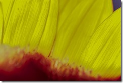 Sunflower Petal Detail (1 of 1)