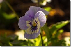 Viola (1 of 1)