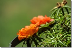 Orange Portulacca (1 of 1)