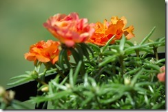 Orange Portulacca 2 (1 of 1)
