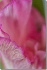 Gladiolus-Sensuality (22 of 29)
