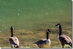 Wildwood Park - Geese 2016 (10 of 16)