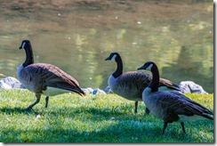 Wildwood Park - Geese 2016 (12 of 16)