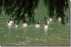Wildwood Park - Geese 2016 (16 of 16)