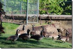 Wildwood Park - Geese 2016 (4 of 16)