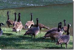 Wildwood Park - Geese 2016 (5 of 16)