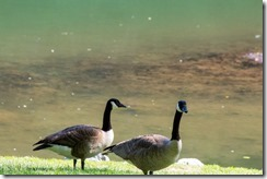 Wildwood Park - Geese 2016 (9 of 16)