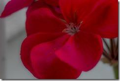Geraniums & Salvia Gargantua (5 of 12)