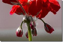 Varigated Geranium